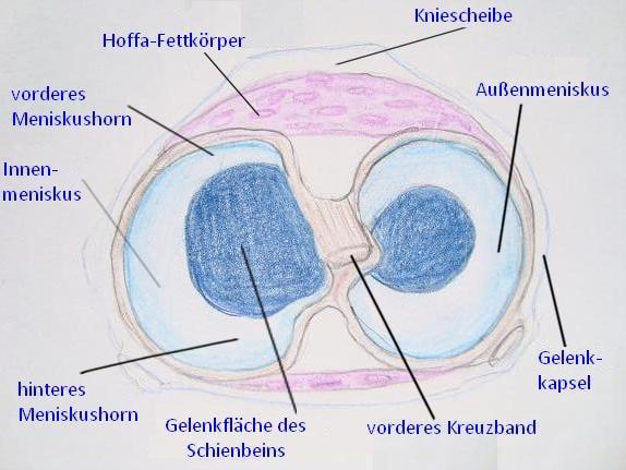 Anatomie des Kniegelenks