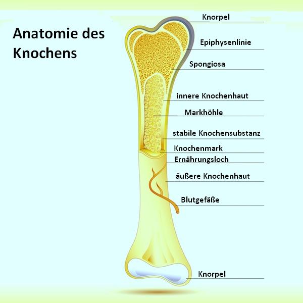 Knochen, Struktur, innen, Periost, Knochenhaut, Fraktur, Knochenbruch, Läsion, Verletzung, Endost, Epiphyse, Knochenmark, schwammartig, kompakt
