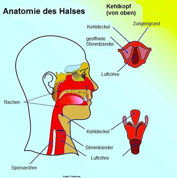 Tumor im Hals,Anatomie,Rachen,Kehlkopf