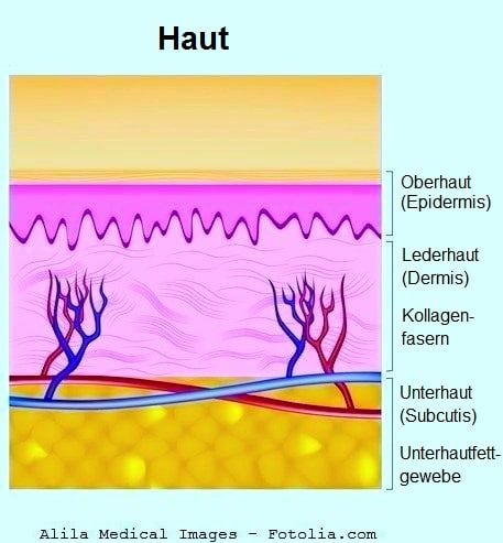 Haut,Hautschichten,Dermis