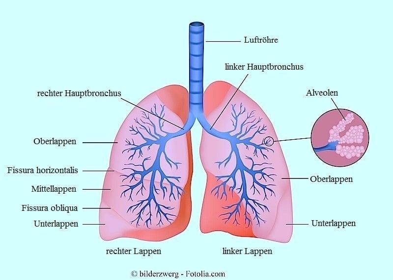 Anatomie,Lungen,Bronchien