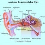 Ohr,Anatomie,Trommelfell