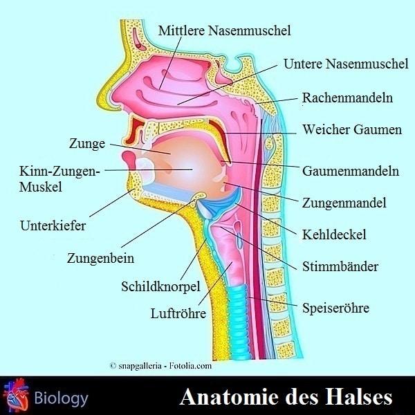 Anatomie des Halses,Rachen