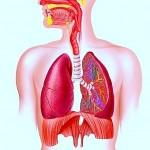 Lungen,Atemsystem