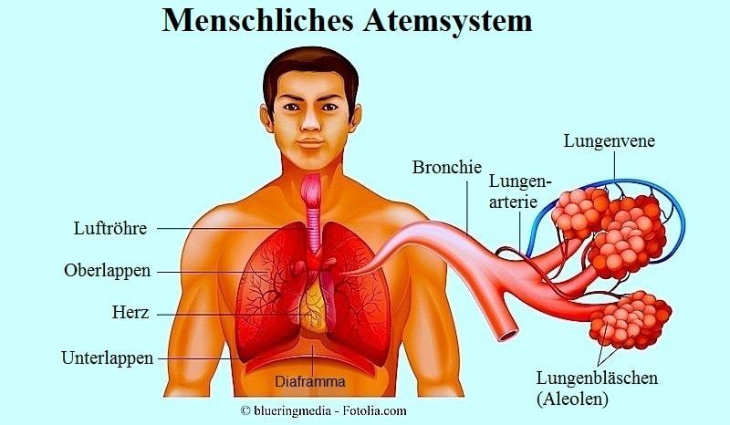 Lungenödem,Alveolen,Lungen