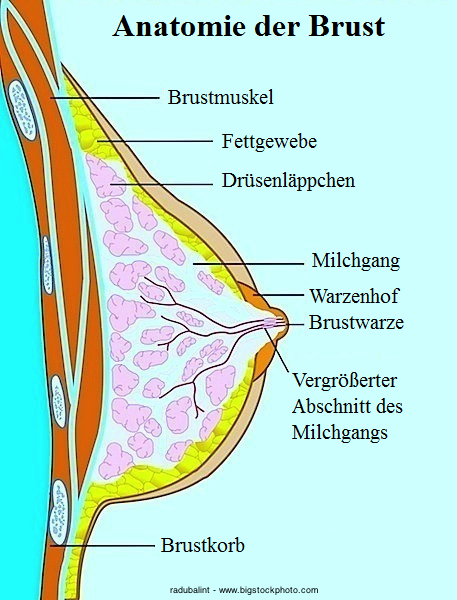 Anatomie der Brust,Sekretion,weiß