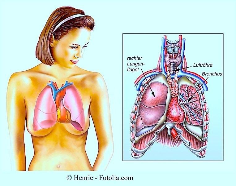 Anatomie der Lungen,Bronchien,Luftröhre