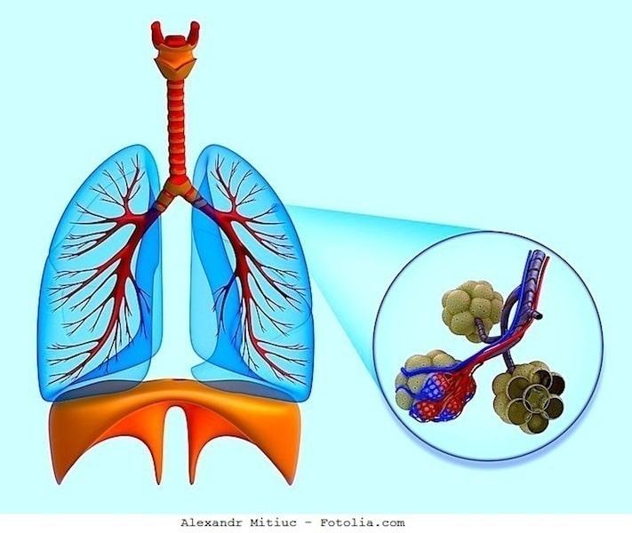 Lunge, Zwerchfell,Alveolen,Atmung