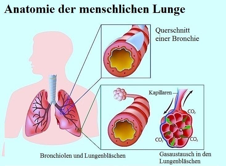 Lunge,Alveolen,Husten