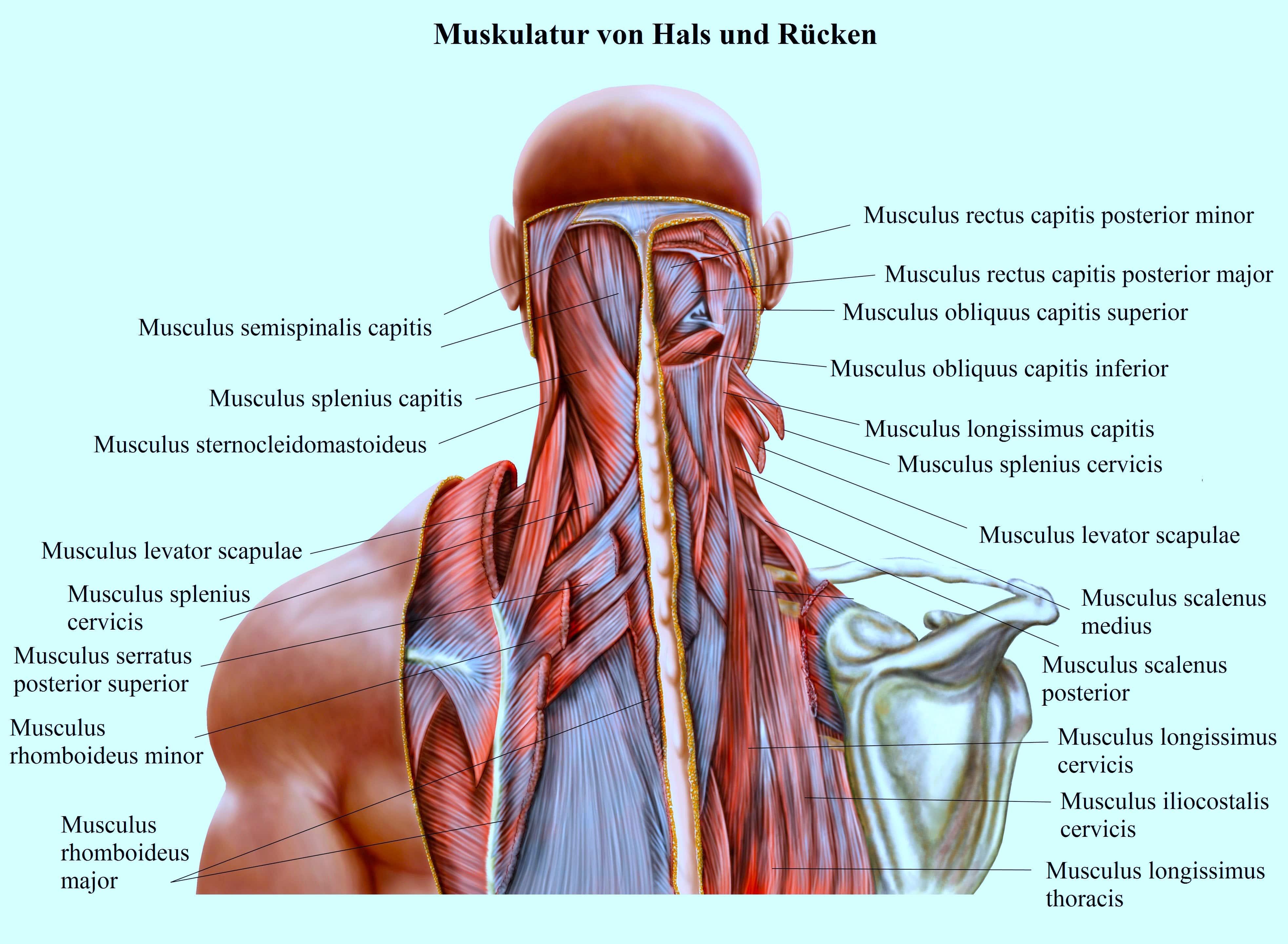 Muskulatur-Hals-Rücken-Rhomboideus - Symptome und Behandlung