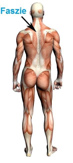 Anatomie,hintere,dorsal,lumbal,sakral,Gesäßmuskel,Oberschenkel,Unterarme,Ellbogen,Handgelenk,Hand,thorako-lumbal,Bindegewebsfaszie,Manipulation,Massage,Entzündung,Sehnenentzündung,Kontraktur,Adhäsion,Kollagenbrücken,Schmerz,Übel,Physiotherapie,Rehabilitation