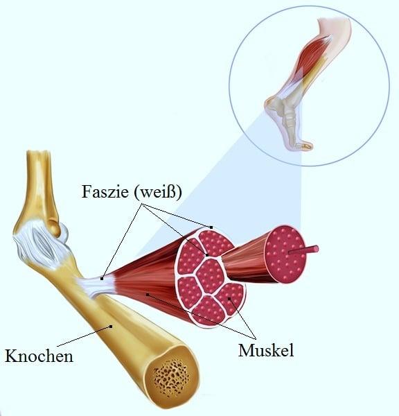 Faszie,Muskeln,Knochen,Sehnen,Struktur,Anatomie,Manipulation,Wirkungsweise