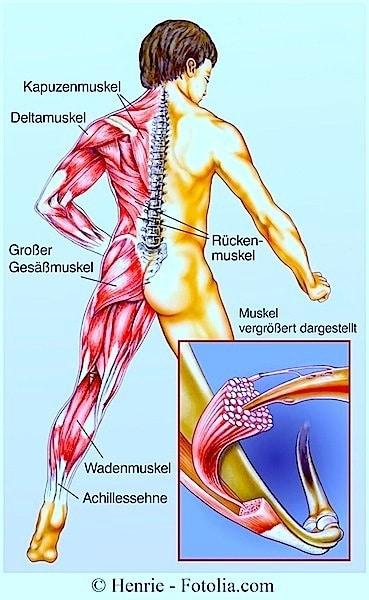 Muskelzerrung,Muskel