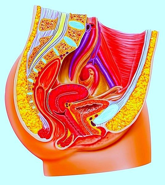 Anatomie,Apparat,genital,weiblich,innen