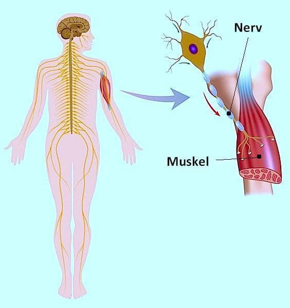 Krämpfe,Nerv,Schmerz,Muskel,Beschwerden,Impuls,Kontraktion