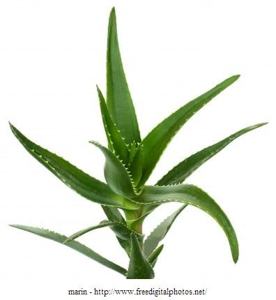 Gel und Saft der Aloe Vera