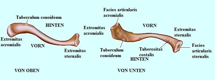 Schlüsselbein,Tuberositas,Facette,Acromion,Brustbein