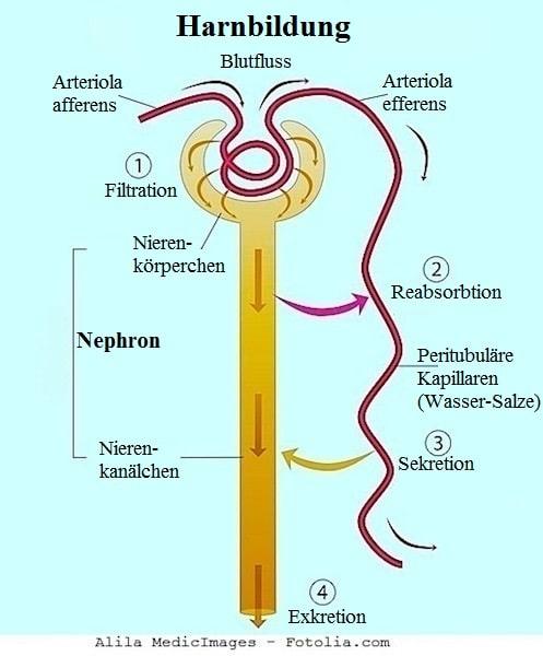 Niere,Glomerulum,Filter