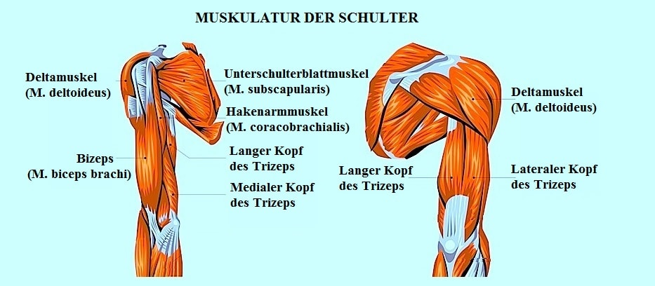 Muskeln,Schulter,Bizeps,Deltoideus,Trizeps
