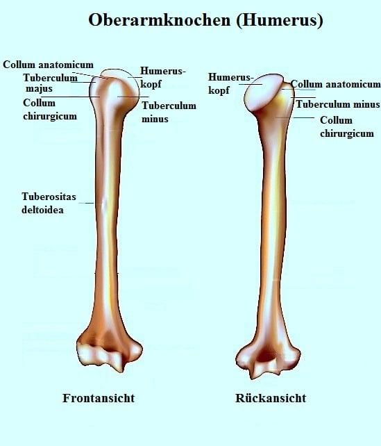 Anatomie der Schulter und Rotatorenmanschette