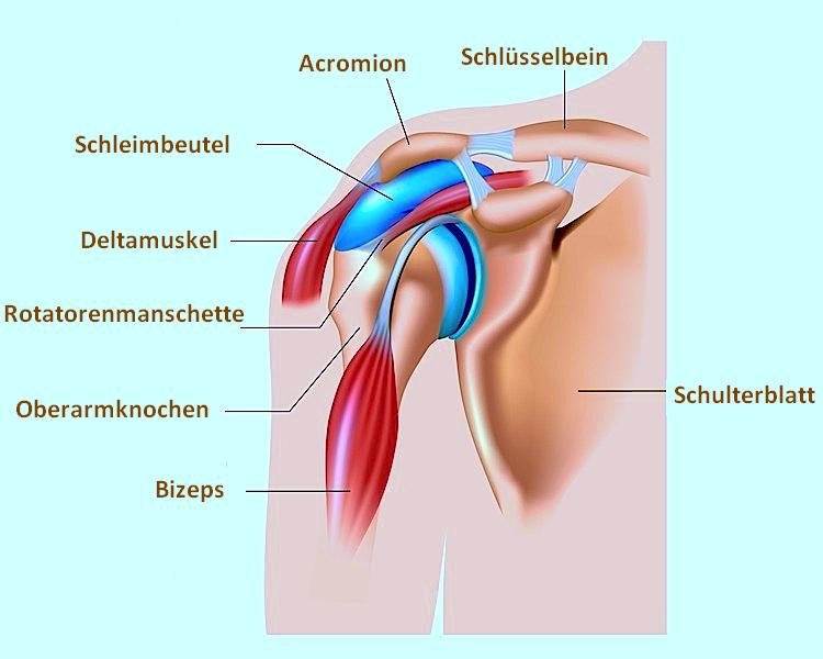 Schulter,Bursa,Bizeps,Deltamuskel,Schulterblatt