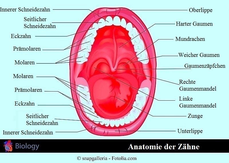 Bleibende Zähne,Dentition