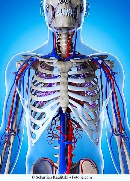 Kreislauf,Arterie,Aorta
