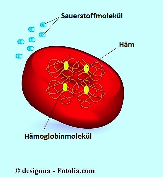 Rote Blutkörperchen,Hämoglobin
