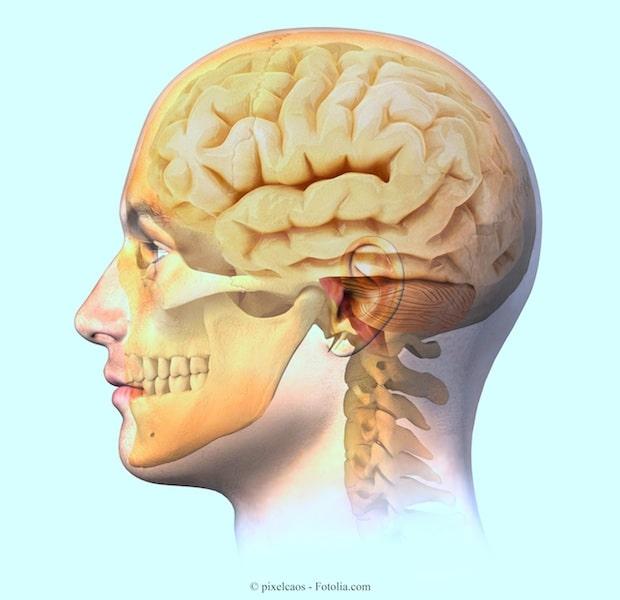 Gehirn,Unterkiefer,Oberkiefer,Auge