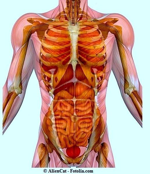 Anatomie,Bauch,Brust,Becken