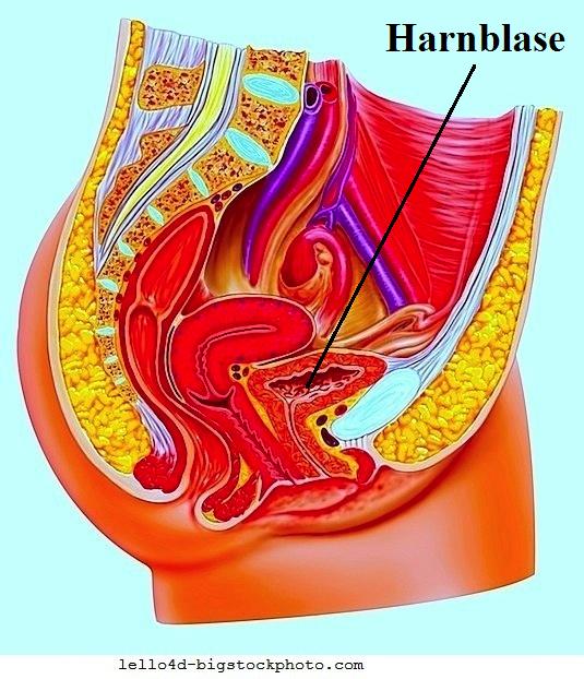 Blasenprolaps,Anatomie,Uterus,Vagina
