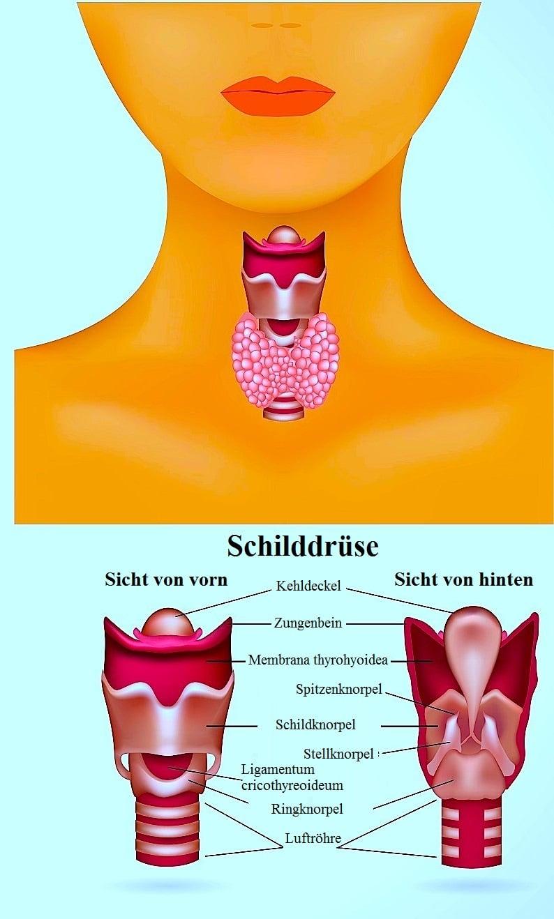 Hyperthyreose,Anatomie der Schilddrüse,Lappen,Isthmus,Trachea,Larynx
