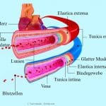 Blutzellen,Herz,Vene,Arterie