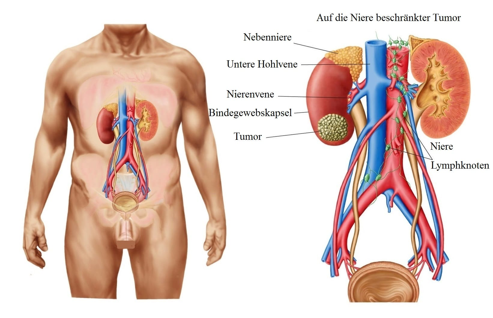 position der nieren
