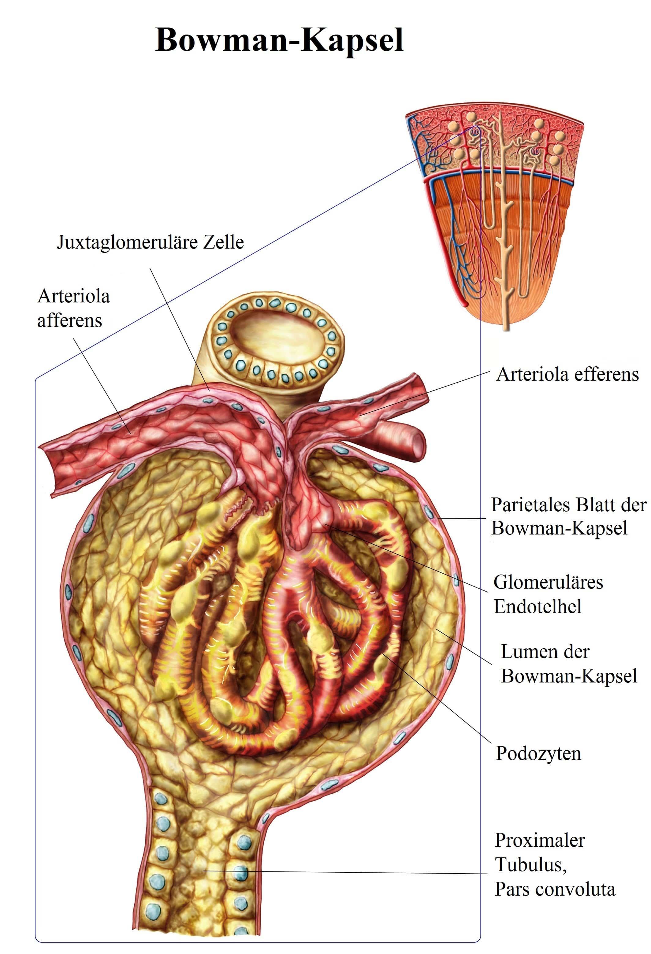 Bowman,Kapsel,proximaler,Tubulus