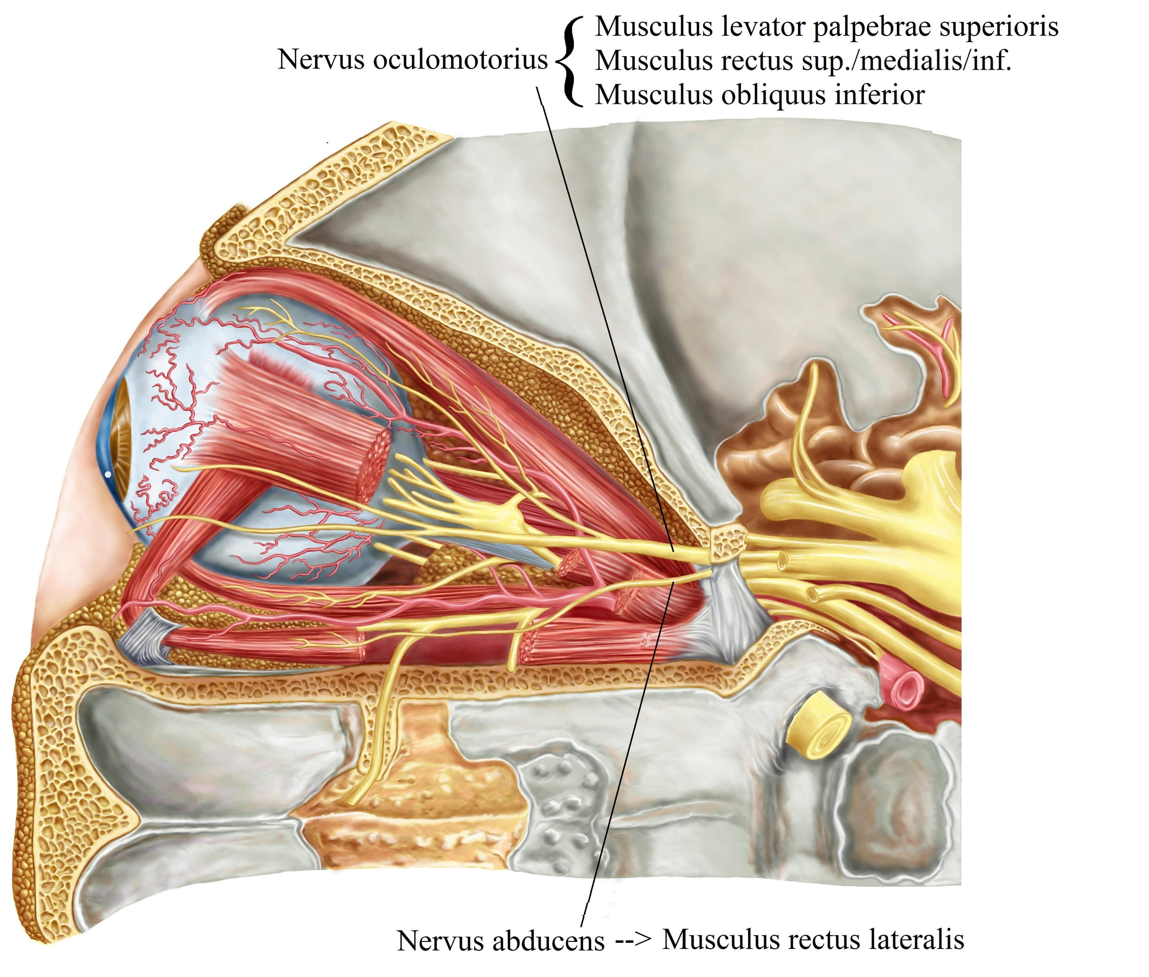 Augenmuskeln,Nervus oculomotorius,Musculus rectus