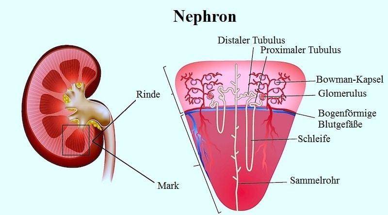 Nephron,Rinde,Mark,distaler,Tubulus