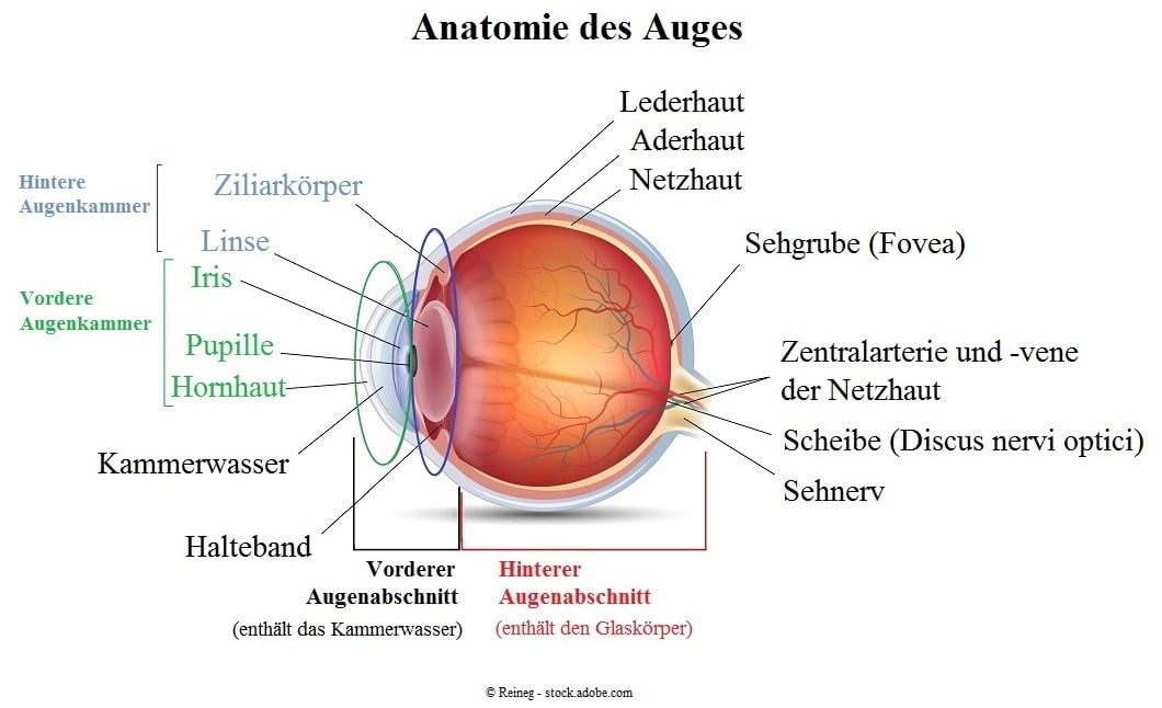 Anatomie-des-Auges - Symptome und Behandlung