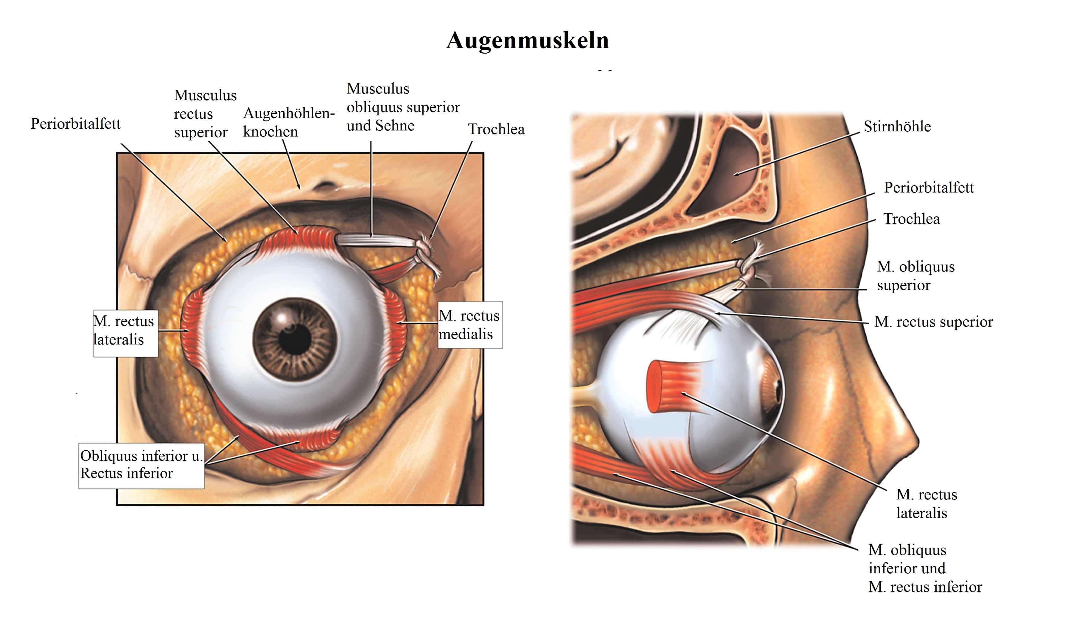 Großzügig Augenmuskeln Anatomie Galerie - Physiologie Von ...