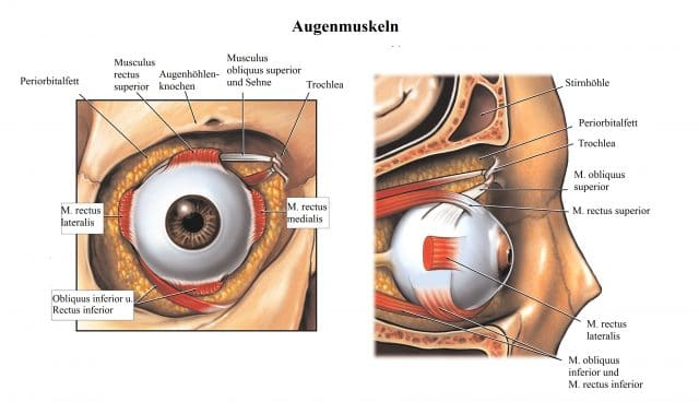 Augenmuskeln-Musculus-rectus-Augenhöhle