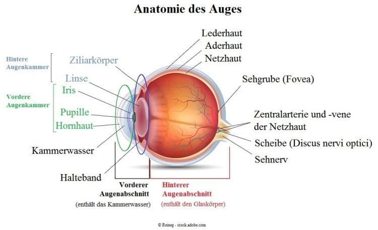 Anatomie-des-Auges.