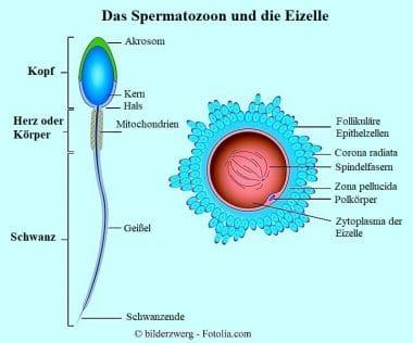 Samenfaden, Kern, Eizelle, Fruchtbarkeit