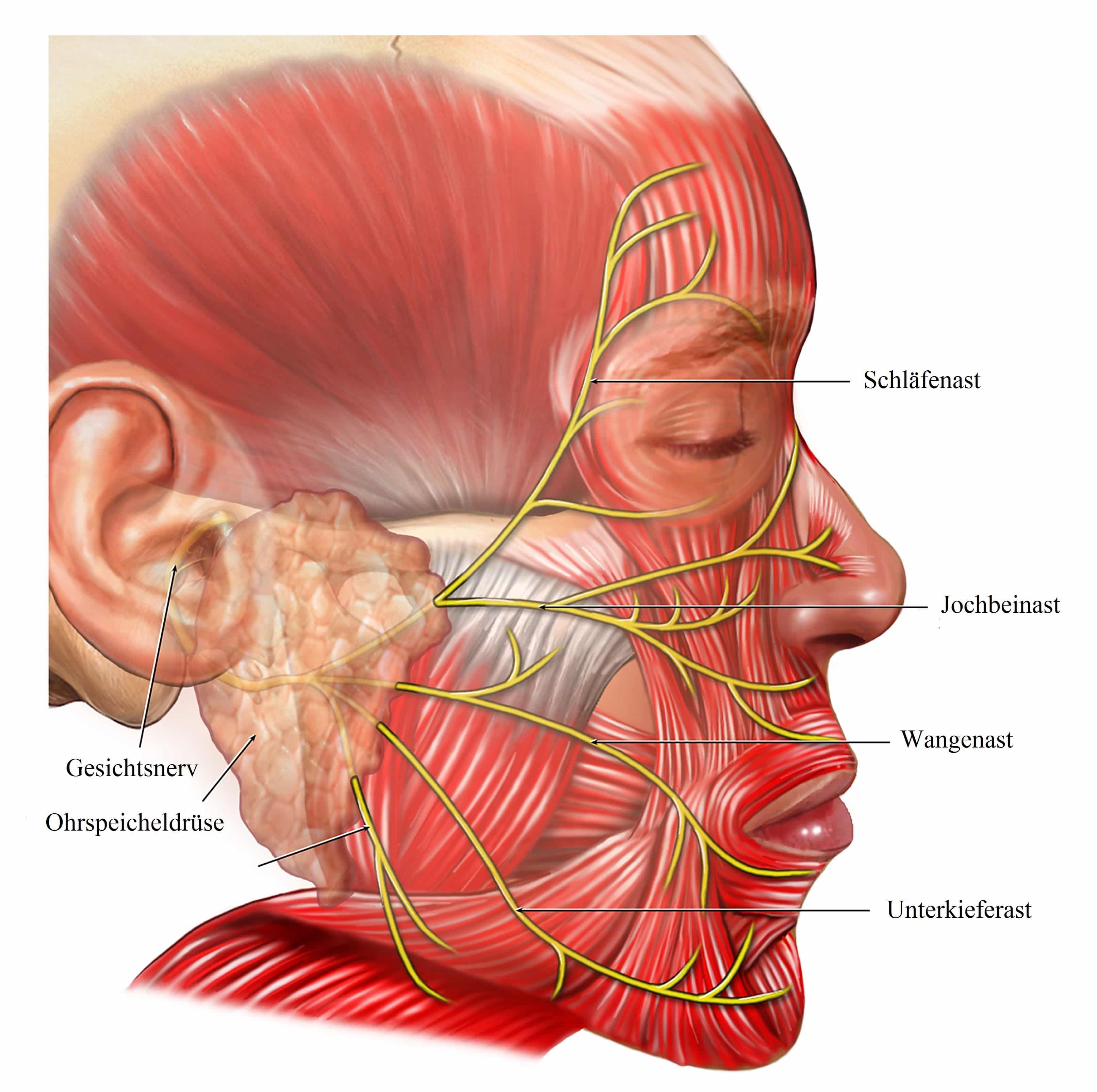 Fein Gesichtsnerven Fotos - Anatomie Von Menschlichen Körperbildern ...
