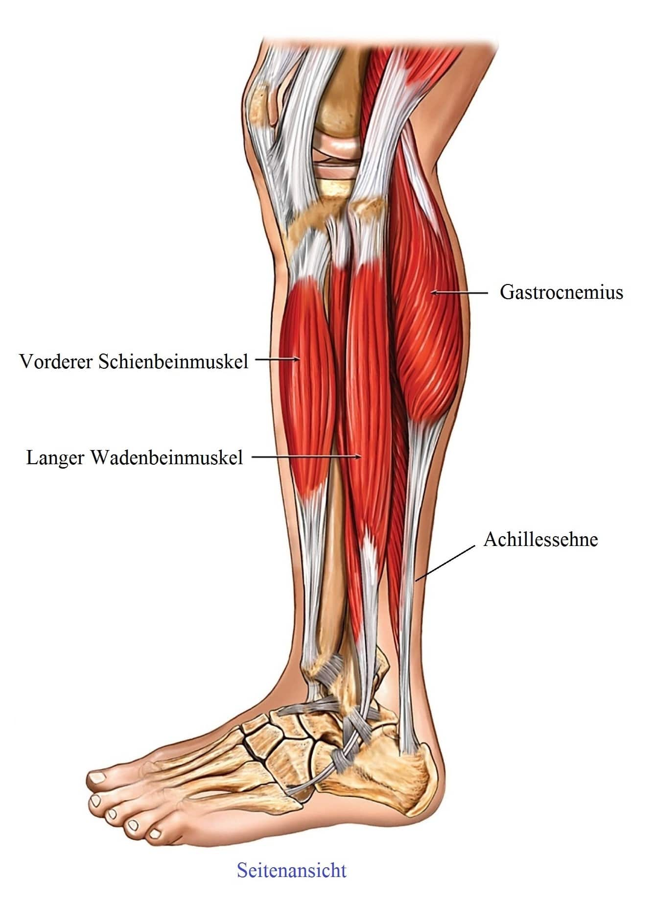 Anatomie, Bein, Muskeln, Sehnen, Gastrocnemius - Symptome und Behandlung