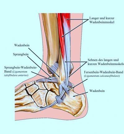 Anatomie, Wadenbein, Sprunggelenk, Knöchel