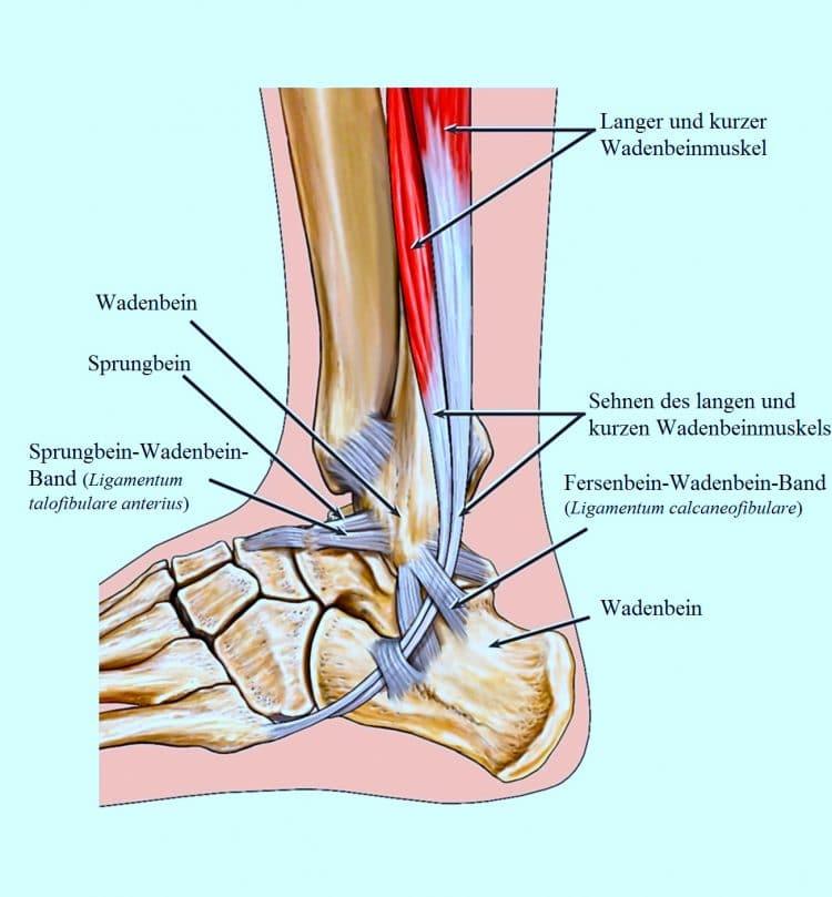 Erfreut Sehnen Des Fußes Anatomie Fotos - Anatomie und Physiologie ...