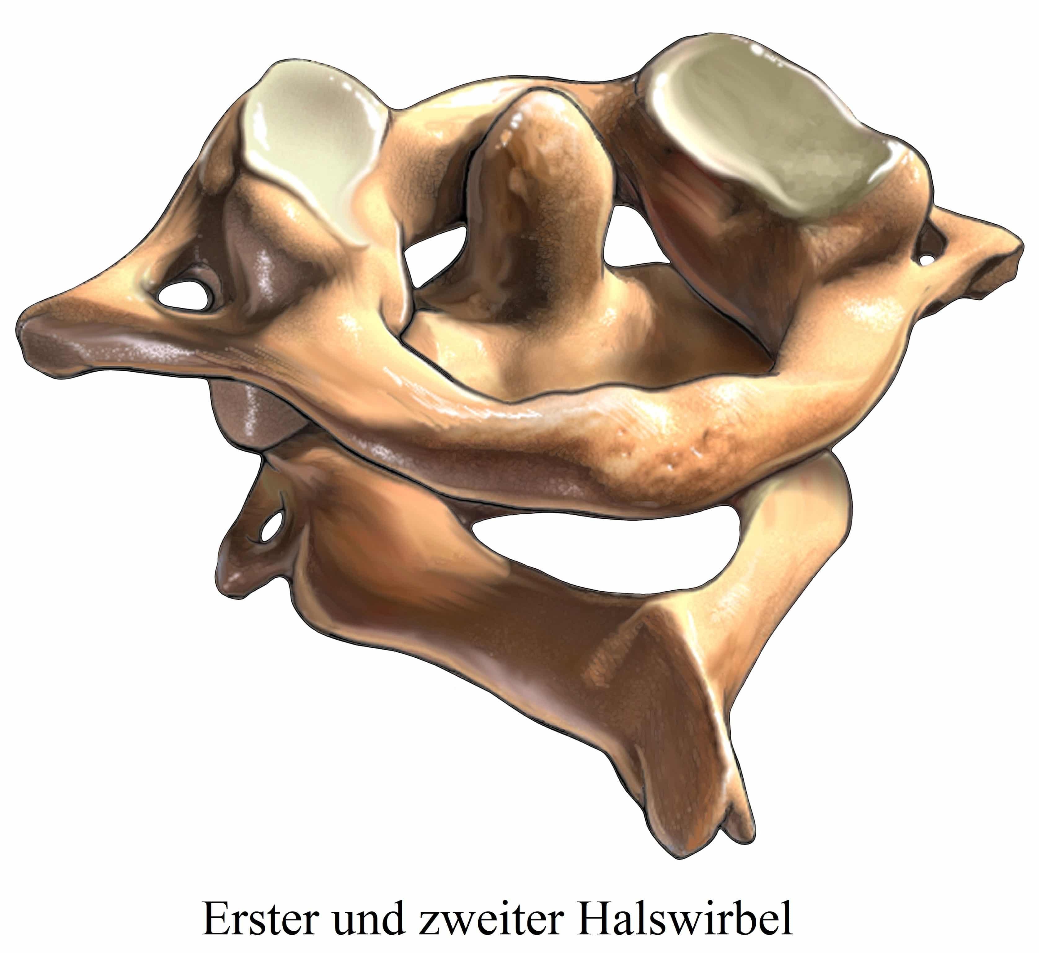 Halswirbel