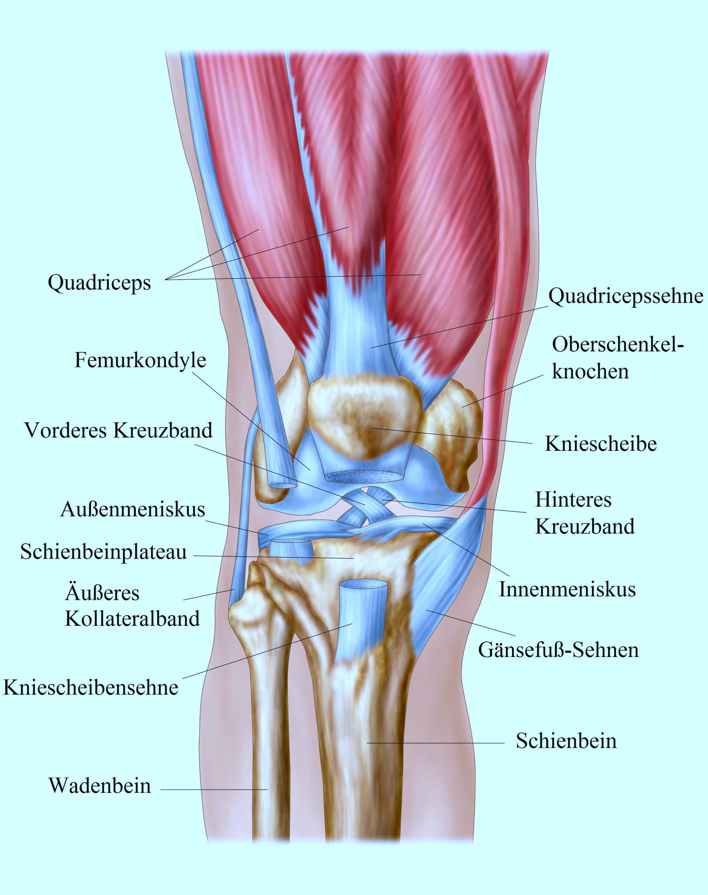 Knie-Quadrizeps, Bänder, Meniskus