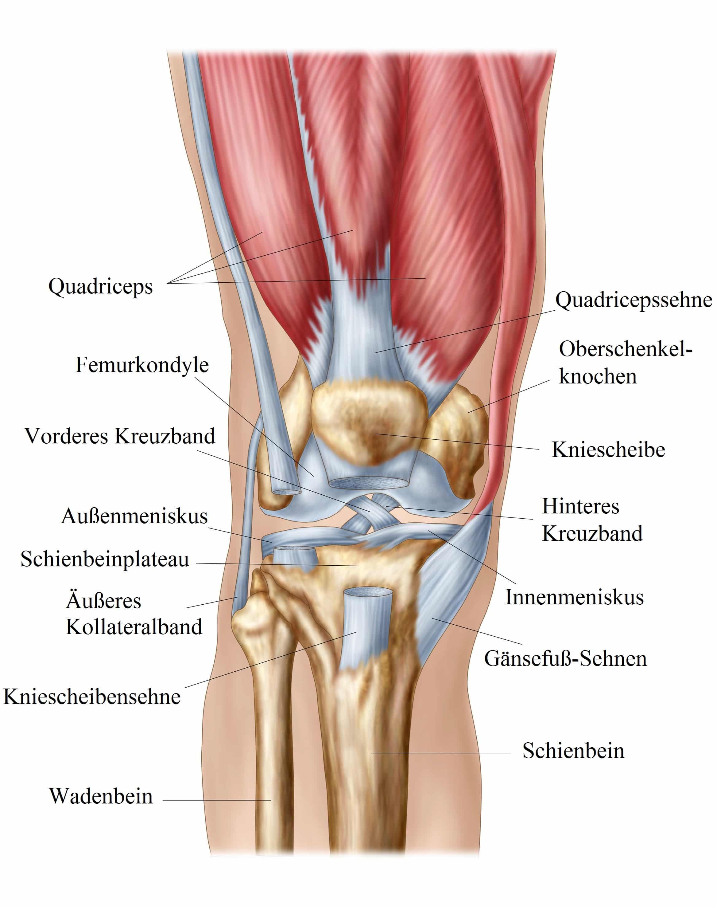 Knie, Quadrizeps Bänder, Meniskus