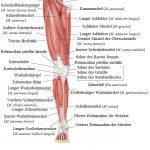 Muskulatur, Oberschenkel